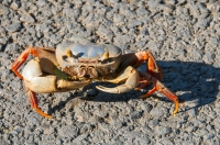 Crab, Tárcoles