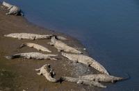 Crocodylus acutus, Tárcoles