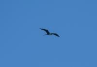 Magnificent Frigatebird (Fregata magnificens), Tarcoles