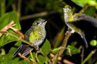 Heliodoxa jacula, Monteverde