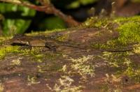 Anolis tropidolepis, Monteverde