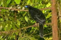 Black Guan (Chamaepetes unicolor), Monteverde