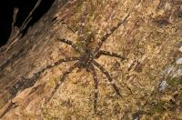Spider, Santa Elena