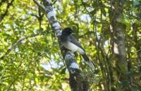 Brown Jay (Psilorhinus morio), Monteverde