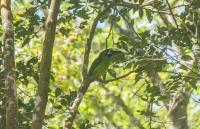 Emerald Toucanet (Aulacorhynchus prasinus), Monteverde