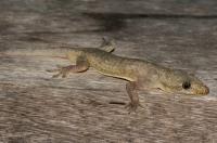 Hemidactylus frenatus, Cahuita