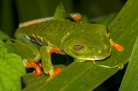 Red-eyed tree frog (Agalychnis callidryas), Cahuita