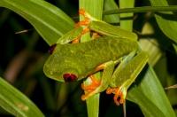 Agalychnis callidryas, Cahuita