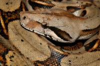 Boa constrictor, Cahuita