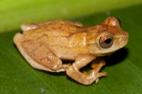 Dendropsophus phlebodes, Cahuita