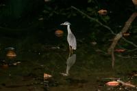Yellow-crowned Night Heron (Nyctanassa violacea), Cahuita