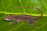 Anolis cristatellus, Cahuita
