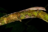 Anolis limifrons, NP Cahuita