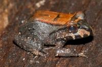 Savage's Thin-toed Frog (Leptodactylus savagei), NP Cahuita