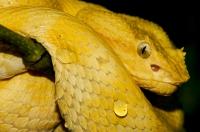 Eyelash viper (Bothriechis schlegelii), NP Cahuita