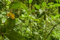Bothriechis schlegelii, NP Cahuita