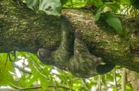 Brown-throated sloth (Bradypus variegatus), NP Cahuita