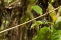 Nephila clavipes, NP Cahuita