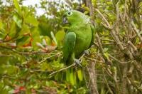 Mealy Parrot (Amazona farinosa), Cahuita