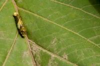 Caterpillar, Cahuita