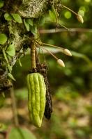 Cocoa, Cahuita