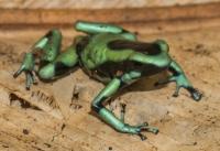 Dendrobates auratus, Cahuita