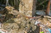 Basiliscus vittatus, Cahuita