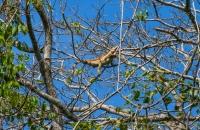 Iguana iguana, Cahuita