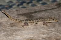 Hemidactylus garnotii, Cahuita