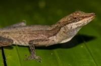 Anolis limifrons, RNG-Manzanillo