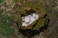 Communal egg laying by Gonatodes albogularis, RNG-Manzanillo