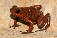 Strawberry poison frog (Oophaga pumilio), RNG-Manzanillo