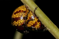 Coccinellidae, RNG-Manzanillo