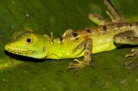 Plumed basilisk (Basiliscus plumifrons), RNG-Manzanillo