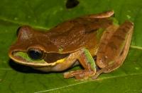 New Granada cross-banded tree frog (Smilisca phaeota), Manzanillo