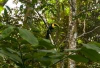 Black-mandibled Toucan (Ramphastos ambiguus), RNG-Manzanillo