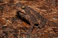 Evergreen toad (Incilius coniferus), RNG-Manzanillo