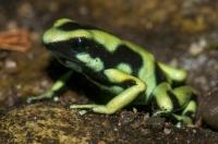Dendrobates auratus, RNG-Manzanillo