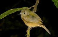 Ochre-bellied Flycatcher (Mionectes oleagineus), RNG-Manzanillo