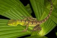 Basiliscus plumifrons, RNG-Manzanillo