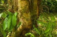 Bothriechis schlegelii, RNG-Manzanillo
