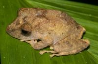 Craugastor cerasinus, RNG-Manzanillo