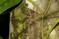 Pavouk, RNG-Manzanillo