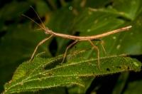 Phasmatodea, RNG-Manzanillo