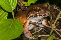 Leptodactylus savagei, RNG-Manzanillo