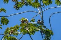 Bradypus variegatus, Puerto Viejo de Talamanca