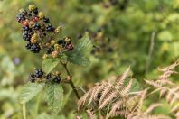 Blackberries, Rakovica