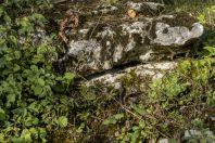 Lacerta viridis, Drežnik Grad