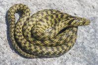 Natrix tessellata var. flavescens, Vrana