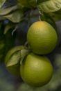 Oranges, Chloraka